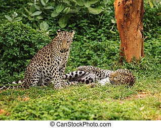 two leopard resting on a grass