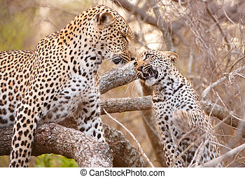 Two Leopards playing on the tree - Baby cub Leopard...