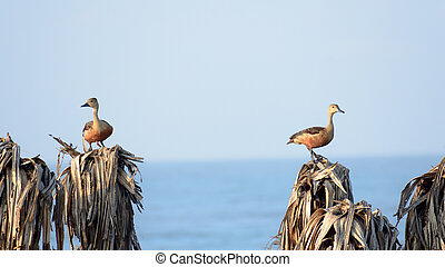 Two Lesser Indian whistling duck (Dendrocygna javanica), a tree nesting wetland water bird with brown long neck and dark gray bill legs spotted sitting on dry leaves. Thattekad Bird Sanctuary Kerala