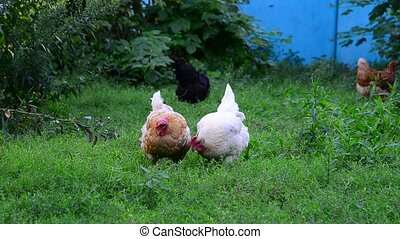 Two light chicken pecking grass - two light chicken pecking...