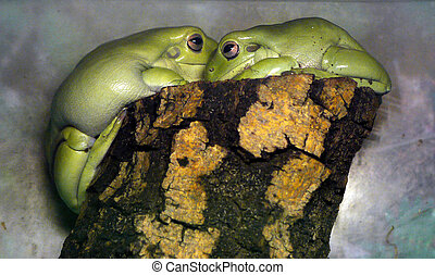 two light green frogs sitting on a stump