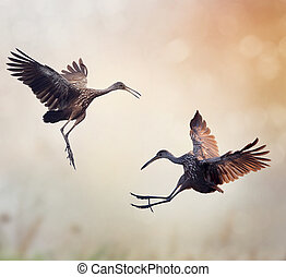 Two Limpkin Birds