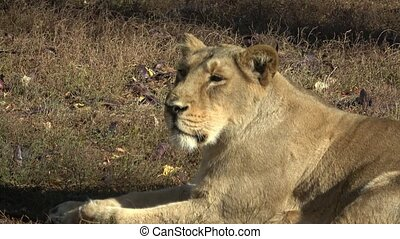 Two Lioness lying down in grass. Two lioness resting after their afternoon siesta.