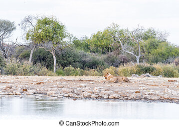 Two lionesses at a waterhole in Namibia
