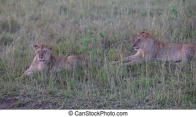 Two lionesses sitting in the grass.