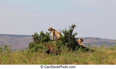 Two lionesses sitting on the hill.