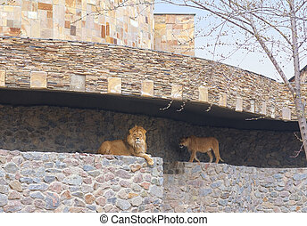 Two lions in the Kyiv Zoo, Ukraine - Lion and Lioness in the...