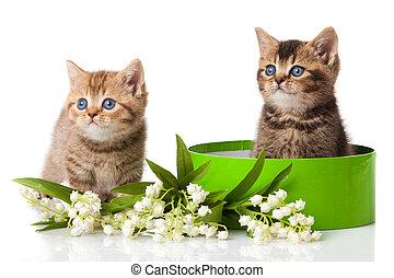 Two little blue eyes kitten. British breed kittens isolated on white background