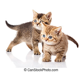 Two little blue eyes kitten. British breed kittens isolated on white background