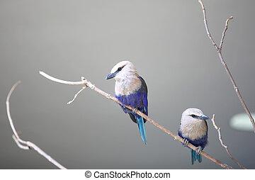Two little Blue Jay birds