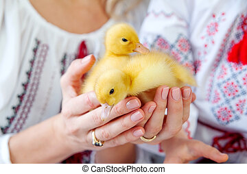 Two little ducklings in the hands of mother and daughter on a white background