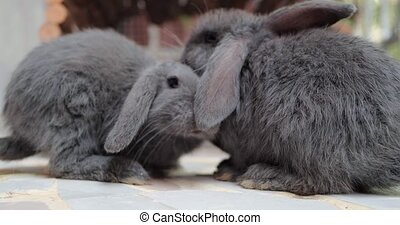 Two naughty and playful bunnies are sniffing around seeking for food.