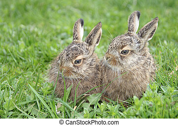 two little hares on the green grass