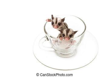 two little joey in tea cup,little sugar glider