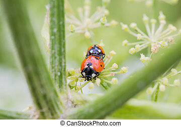 Two little ladybugs on a plant