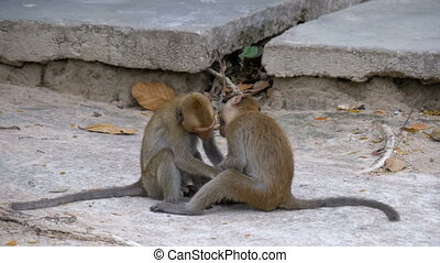Two Little Monkeys are Playing. Thailand. Slow Motion - Two...