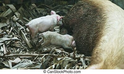 two little pink piglets suck mother milk from large domestic dirty white hairy sow sleeping on dry palm leaves in swine paddock