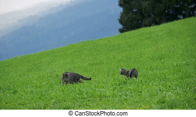 Two Little Playful Gray Cats Play and Run on a Green Grass in the Mountains of Austria. Slow Motion
