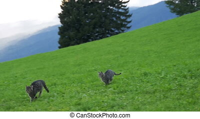 Two Little Playful Gray Cats Play and Run on a Green Meadow in the Mountains of Austria. Slow Motion