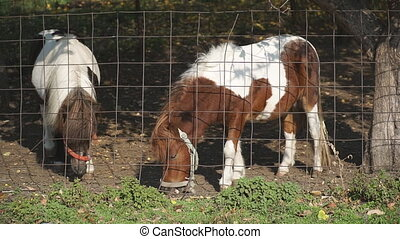 Two little ponies or horses grazing in paddock. Purebred ...