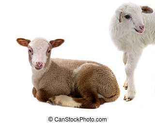two little sheep