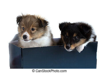 two little sheltie puppy in a gift box