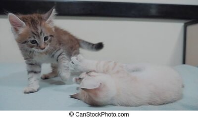 two little white kitty kittens play fighting on the bed...
