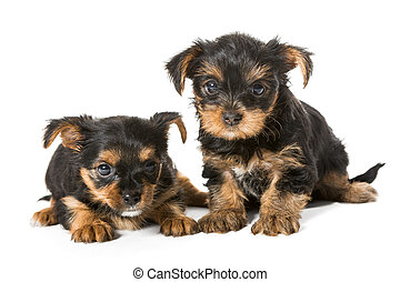 Two little Yorkshire Terrier puppy
