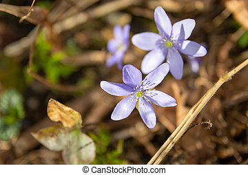 Two liverwort spring flowers growing in the sun
