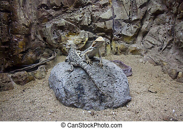 Two lizards are sitting on the stone. - Two lizards are...