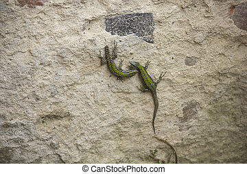 two lizards on a wall