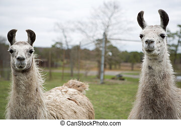 Two Llamas - two llamas in a field