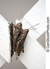Locust - Two Locust in Piggy Back Position on broken white...