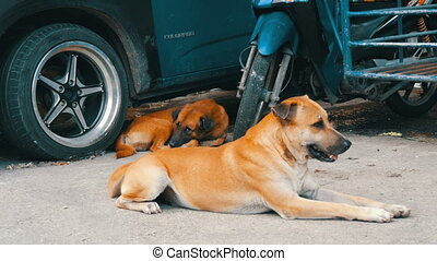 Two lonely dogs lie on street near a car in Thailand - Two...