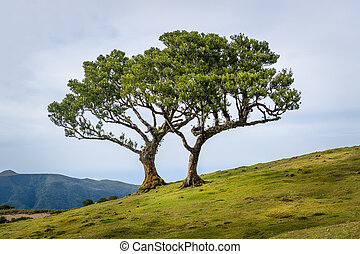 Two lonely trees growing in the hills of Madeira mountain...