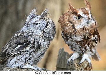 Two Long Eared Owls