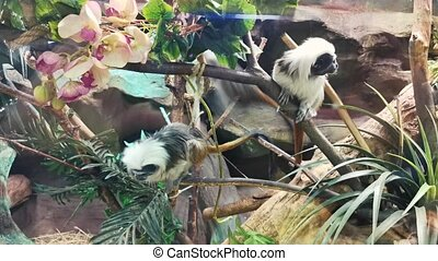 Two long-haired monkeys jumping on trees. Zoo terrarium.