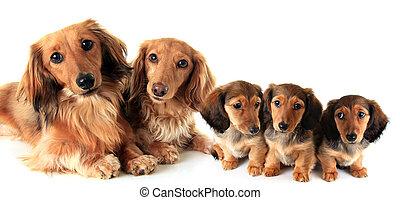 two longhair dachshunds