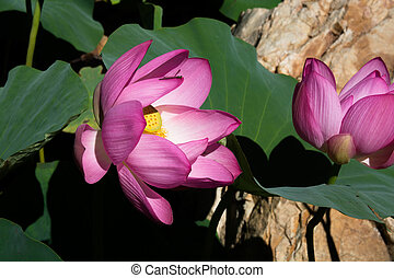 Two lotus flowers.