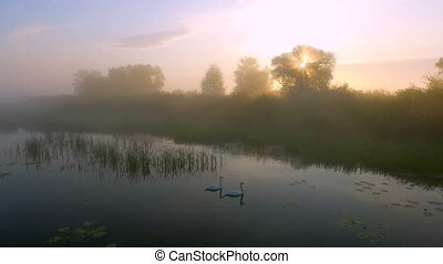 Two love swans at sunrise. Swan lake. Europe