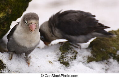 Two lovebirds (genus Agapornis) sitting on snow.