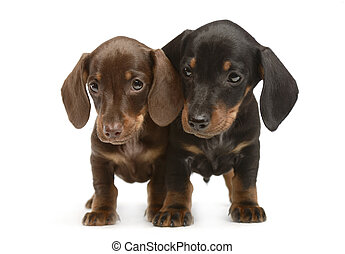 two lovely puppy dachshunds staying side by side in white studio