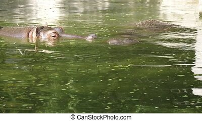 Romantic view of a family from two big brown hippopotamuses swimming, looking around and touching each other in a calm zoo pond on a sunny day in summer.