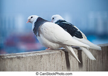 two lovers white and black doves on the balcony to greet the sunset and the sun