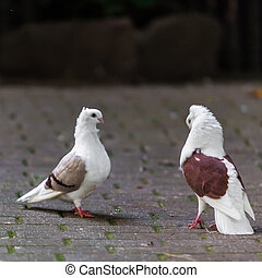 two loving  doves.  Two pigeon