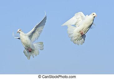 two loving white dove in free flight under blue sky