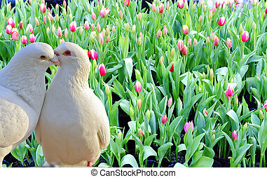 two loving white doves and fresh tulip flowers