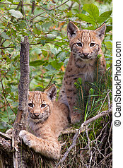 Two lynx cubs