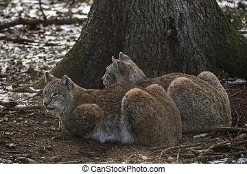 Two lynx in a deer park in wintertime
