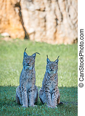 Two lynx on grass with cliff behind